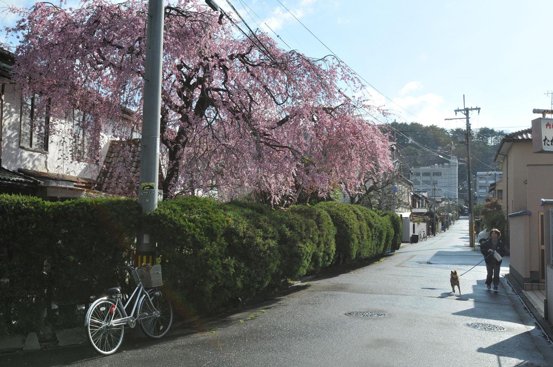 銀月アパートの桜
